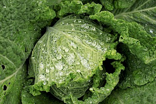 Savoy cabbage gallery image
