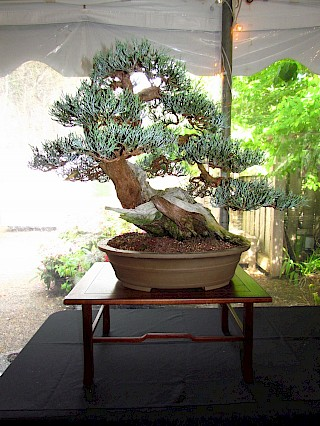 Bob Shimon bonsai gallery image