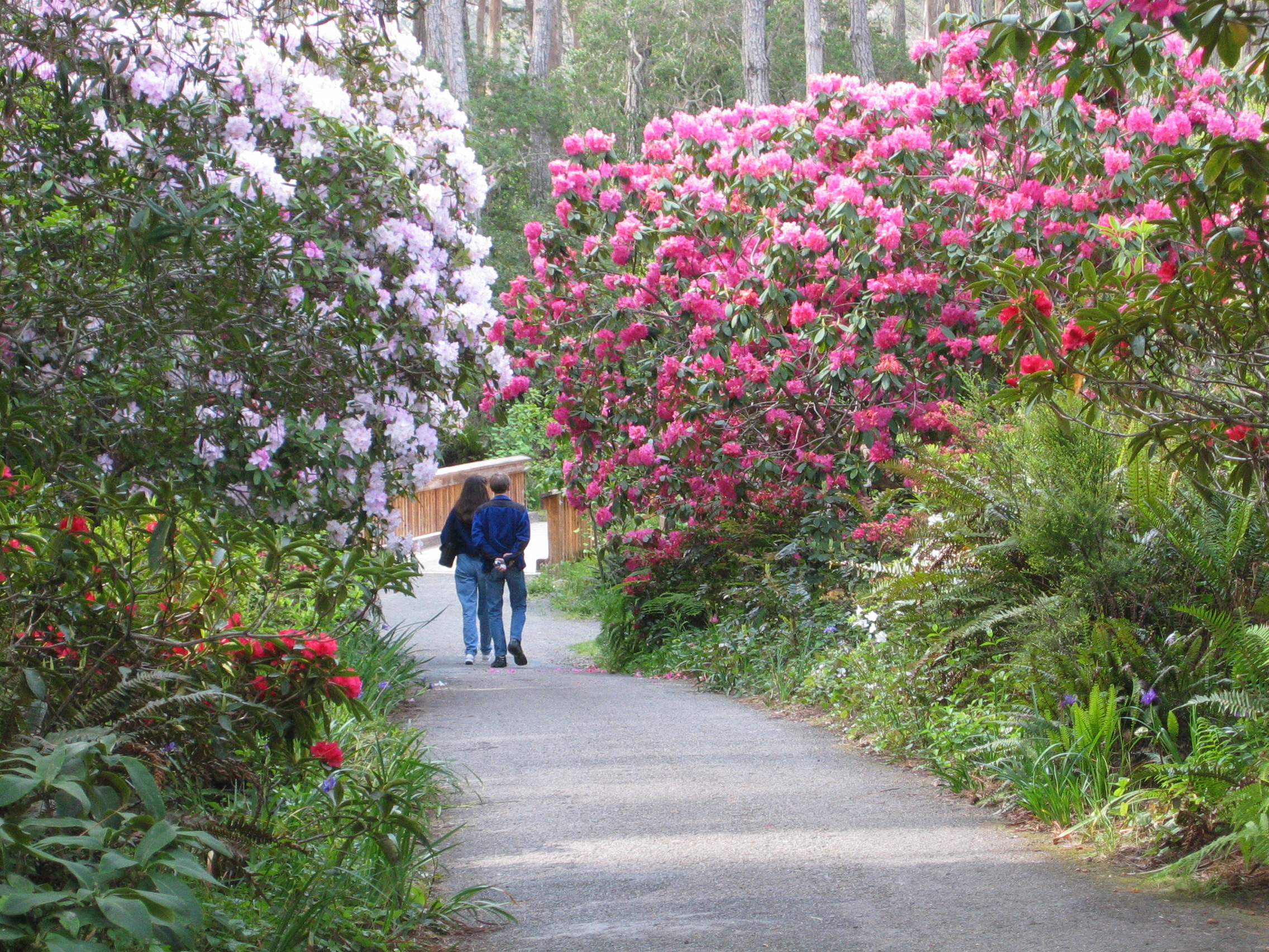 Second Saturday Rhododendron Walks   Ongoing Activities   MCBG Inc. 2018 | Fort  Bragg, California