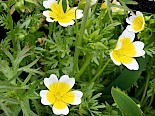 Limnanthes douglasii | Meadowfoam gallery image