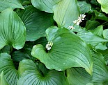 Maianthemum dilatatum | False Lily-of-the-Valley gallery image