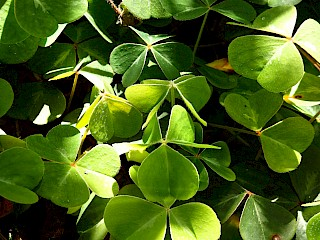 Oxalis oregana | Redwood Sorrel gallery image