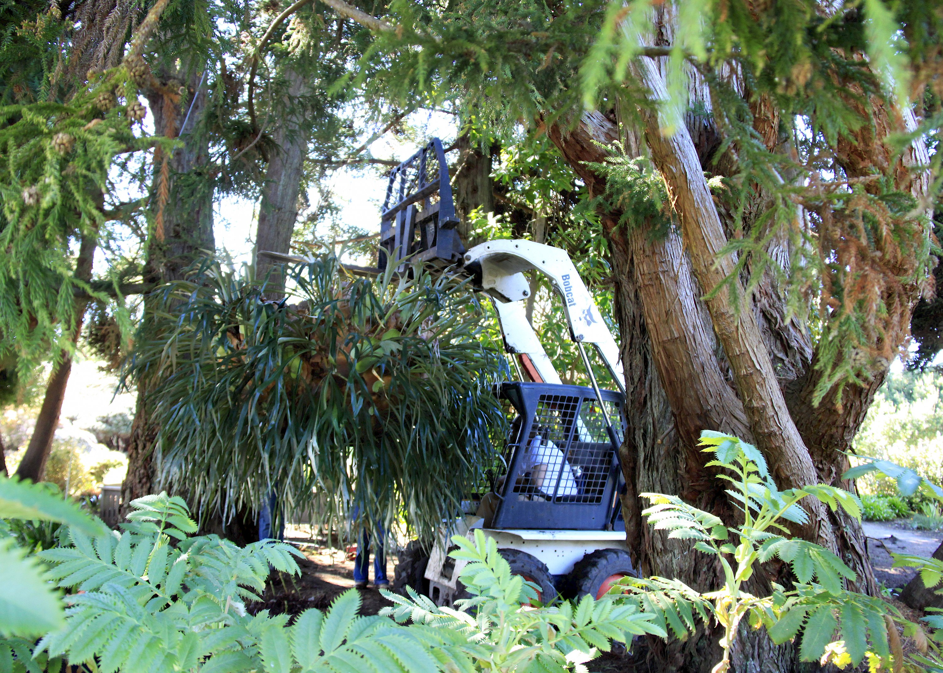 An Unusually Large Award Winning Epiphytic Fern Has Found A New Home At The  Western Edge Of The Perennial Garden! The Plant Is A 50+ Year Old Staghorn  Fern ...
